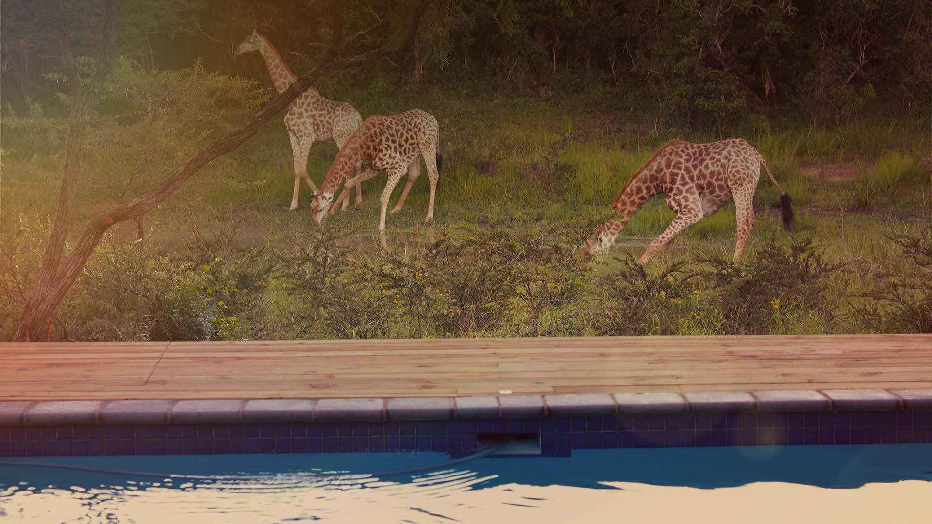 giraffe-sundowner